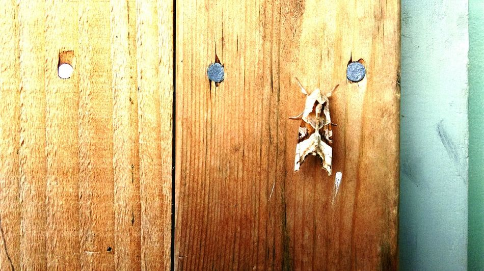 Quietly eavesdropping Moth September Camping EyeEm Nature Lover Wales can anyone identify?