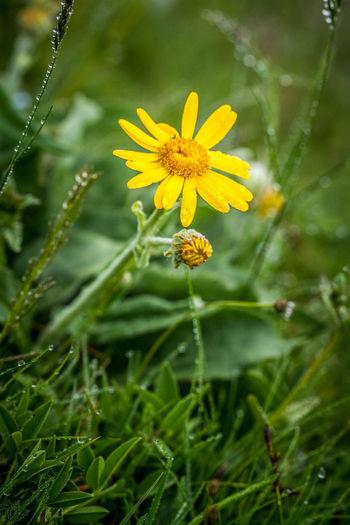 Yellow daisy on