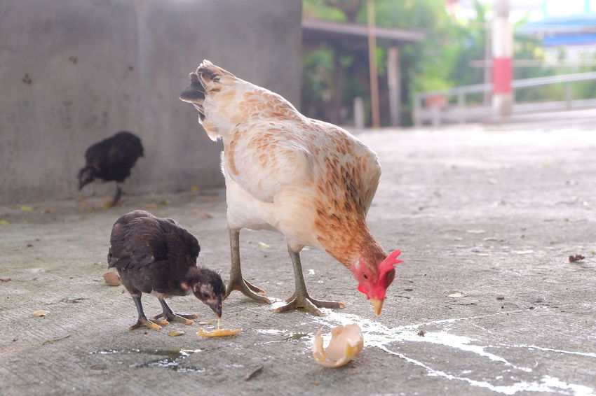 chicken and chick eating broken egg on the floor Broken Egg Chicken Eating Nature Animal Animals Broken Egg On The Floor Broken Egg Shell Chick Concrete Floor Day Eat Egg Floor Food Ground Little Outdoors
