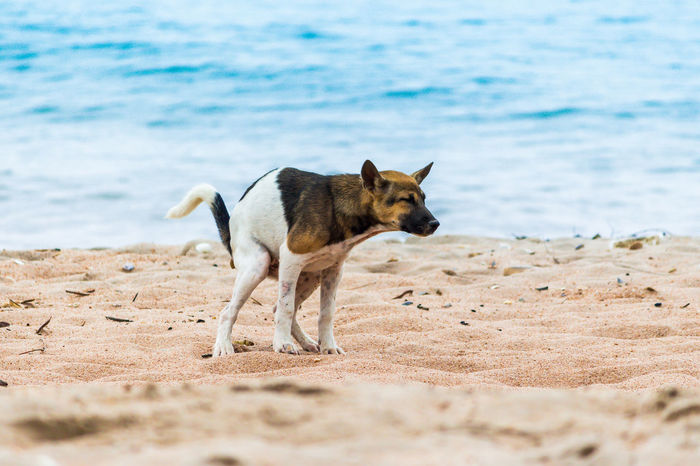Animal Animal Themes Beach Canine Dog Domestic Domestic Animals Excrete Land Mammal Motion Nature No People One Animal Pets Sand Sea Standing Vertebrate Water