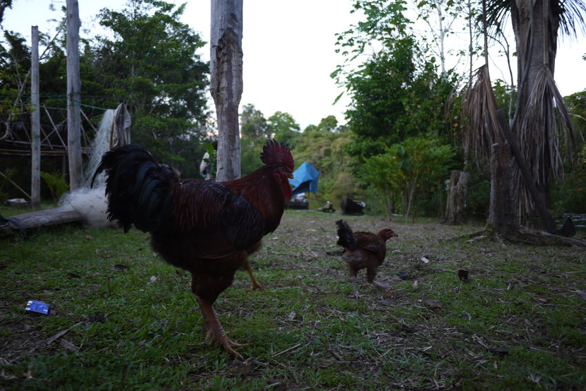 Chicken Communities Community Communityfirst Indigenous  Jungle Peruvian Riverside
