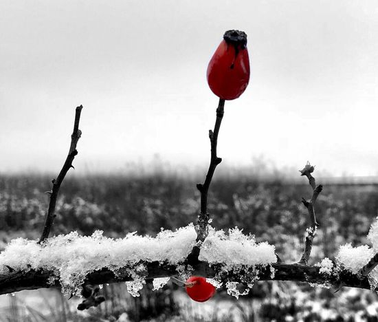 Cold Temperature Winter Snow Red Nature Outdoors No People Frozen Plant Beauty In Nature Day Growth Close-up