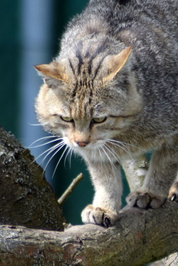 Im Widkatzendorf Animal Themes Cat Cats Close-up Day Domestic Animals Domestic Cat Feline Mammal Nature No People One Animal Outdoors Pets Whisker Wildcat