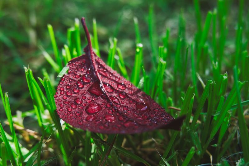 RainDrop Plant Plant Part Leaf Close-up Drop Growth Nature Beauty In Nature Focus On Foreground Red Wet Land Water Green Color Day Field Dew Outdoors Grass No People