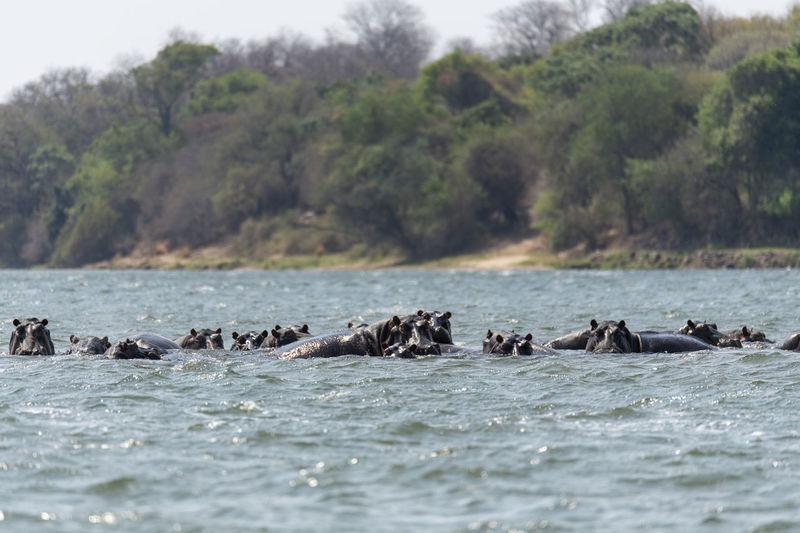 Hippos swimming in sea