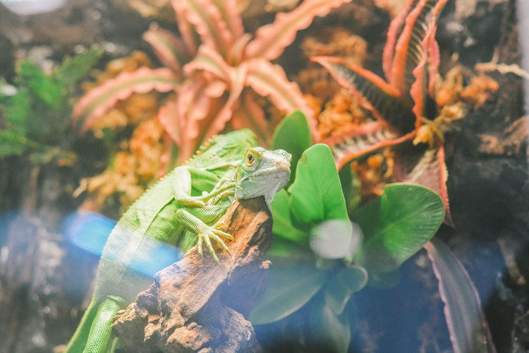 Animal Chameleon Pets