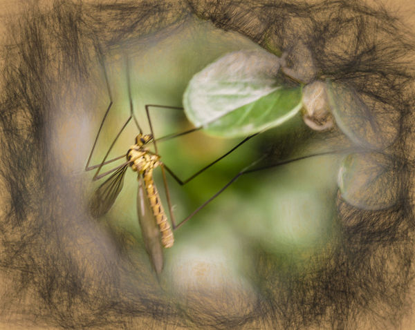 Mücke Nature Animal Animal Themes Animal Wildlife Animals In The Wild Day Insect Mosquito No People One Animal Outdoors Painting Image