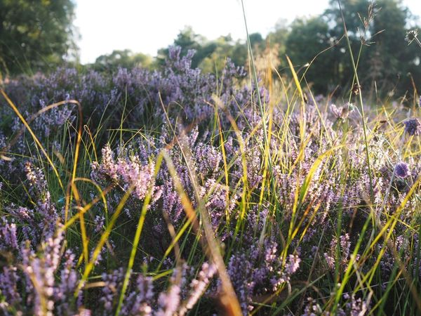 Scotland Heathers Heather Plant Growth Flower Flowering Plant Beauty In Nature Nature Selective Focus