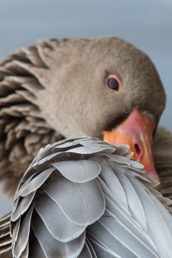 Headshot Close-up Portrait EyeEm Best Shots - Nature EyeEm Best Shots Eye4photography  No People Beauty In Nature EyeEm Best Pics Goose Feather_perfection Feathers Feathered Friends Geese Preening Preening Birds Preening Feathers Preening Time