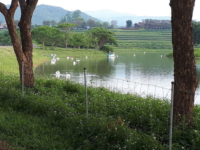The white swan in the vast swamps. Ship Mesh Fence Woods Thailand Brown White Sky Tree Wood Home Green Green Color Mountain Bird Water Lake Reflection Grass