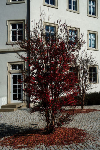 Autumn tree in front of the monastery school of the Holy Sepulcher in Baden-Baden, Germany Baden-Baden Germany Monastery School Monastery School Autumn Tree Building Exterior Architecture Built Structure Building Window Tree Plant City No People Nature Residential District Outdoors Day House Autumn Winter Snow Growth Change Façade Apartment