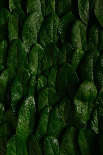 Full frame shot of green spinach leaves