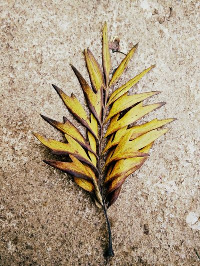 Leaf Nature Outdoors Dry Leaves Faded Glory Faded But Still Beautiful Faded Memories Faded But Not Forgotten Fade Away Faded Beauty In Nature Shades Of Nature Yellow Leaves Autumn Leaves_collection Leaves🌿 Plant Mobile Photography Mobile_photographer