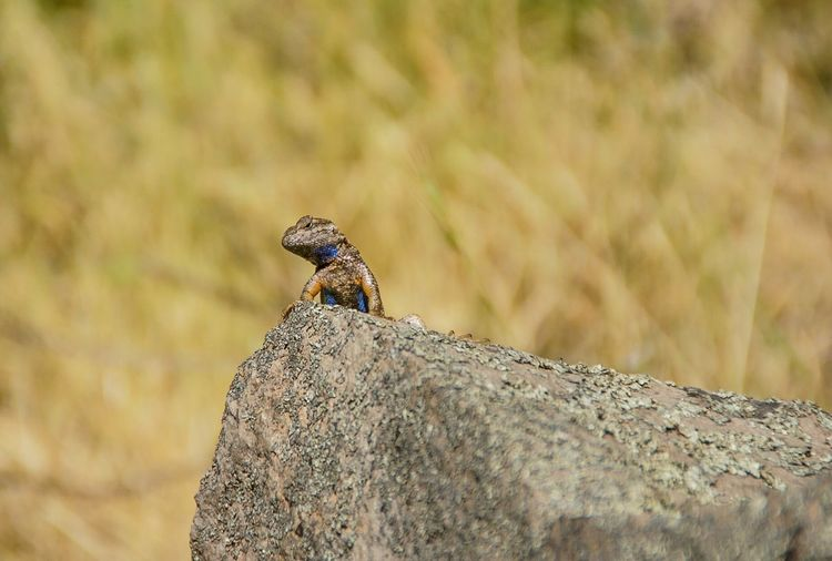 Western Fence Lizard Westernfencelizard AnnadelStatePark EyeEmNewHere Animals In The Wild Animal Wildlife Animal Themes Animal One Animal Focus On Foreground Vertebrate Nature Outdoors Lizard Rock Reptile Close-up Day No People The Great Outdoors - 2018 EyeEm Awards