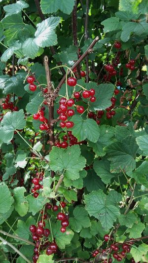 Redcurrants Growing on the Redcurrant Bush with its Green Leaves🌿 . Featuring Growth Green Color Fruit Leaf Red Food And Drink Outdoors Nature Freshness Day Beauty In Nature No People Plant Branch Tree Healthy Eating Close-up Food