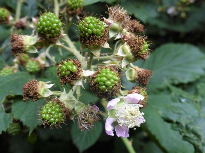 Blackberries in Flower Beauty In Nature Blackberry - Fruit Close-up Day Food Food And Drink Freshness Fruit Green Color Growth In Flower Nature No People Outdoors Plant Tree