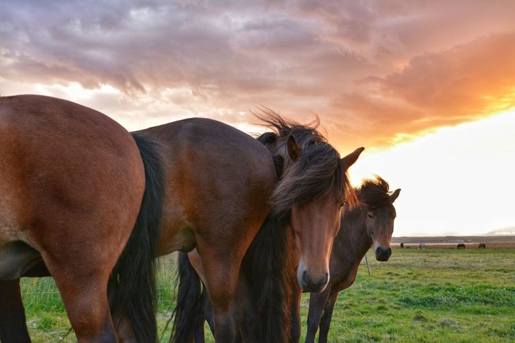 Animal Animal Wildlife Agriculture Cloud - Sky Sky No People Mammal Animals In The Wild Nature Outdoors Rural Scene Animal Themes Close-up Day Livestock Sunset Togetherness Travel Iceland Icelandic Horses Ponies Horses Grass Portrait Nature