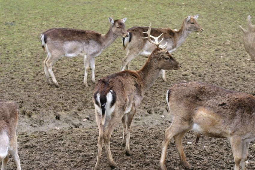 In focus Animal Themes Animal Wildlife Animals In The Wild Antler Brown Day Deer Group Of Deers Mammal Nature No People Outdoors Rear View