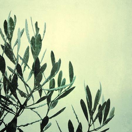 葉っぱ 葉 オリーブ 緑 木 日本 Japan