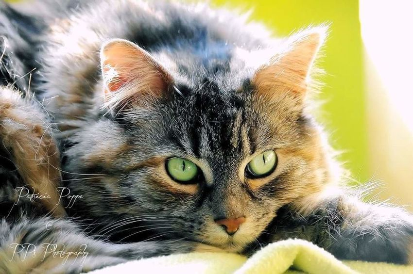Luna Domestic Animals Domestic Cat Pets Animal Themes One Animal No People Indoors  Magical Check This Out Love❤ Enjoying Life Hello World Animal Catstagram Cat Photography Catlover Cat Eyes Eyecat Close-up Cat EyeEm Team Hi! EyeEm Maine Coon Norwegian Forest Cat