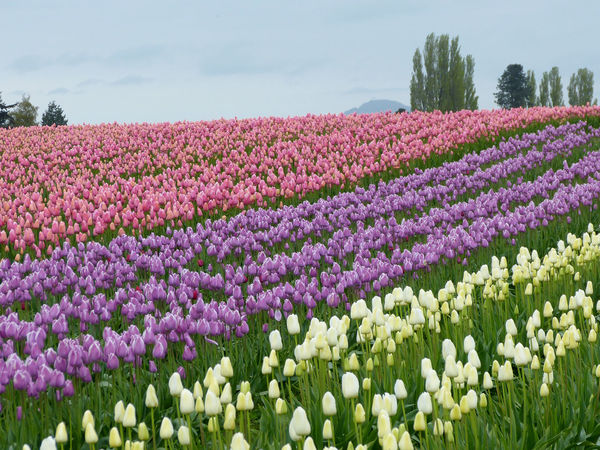 Beauty In Nature Blooming Blossom Botany Day Field Flower Flower Head Growing Growth In Bloom Landscape Nature Outdoors Petal Pink Color Plant Scenics Skagit Valley Tulip Festival  Sky Tranquil Scene Tulips Travel Photography