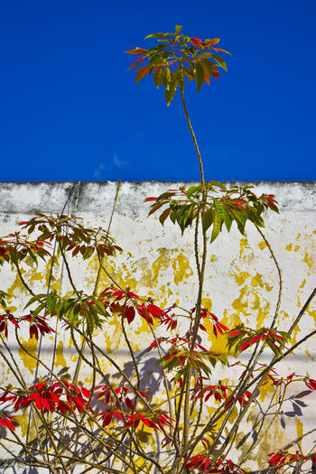 Poinsettias growing in front of wall in Izamal, Mexico Izamal Yucatan Izamal, Yucatán Poinsetta Flowers Poinsettia Plants Wall Beauty In Nature Blue Clear Sky Flower Flowering Plant Growth Nature No People Plant Plant Part Poinsettia Poinsettias Sky