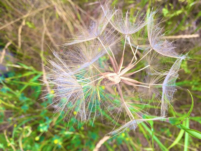 Plant Fragility Close-up Vulnerability  Beauty In Nature Flower Flowering Plant No People Dandelion Outdoors Green Color Nature