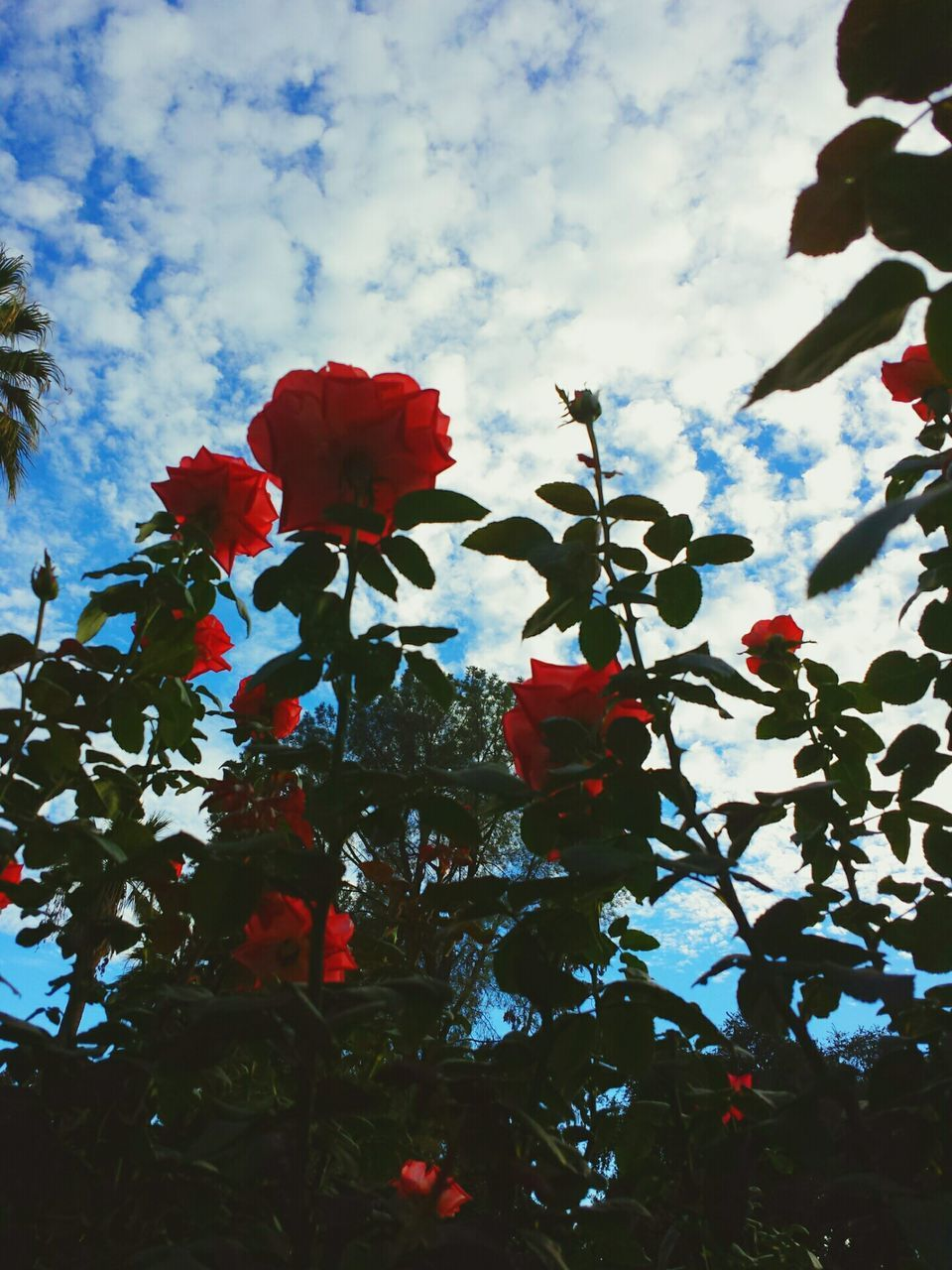 flower, beauty in nature, nature, petal, growth, fragility, freshness, red, low angle view, sky, no people, blooming, plant, cloud - sky, blossom, day, outdoors, tree, flower head, springtime, close-up, pedal
