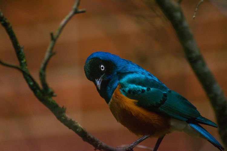 Close-up of bird perching on branch. superb starling.