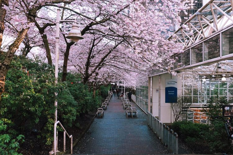 Instagram: H.HAN_ Starting A Trip Checking In Spring Nature Sakura Street Vancouver Urban Landscape Natural