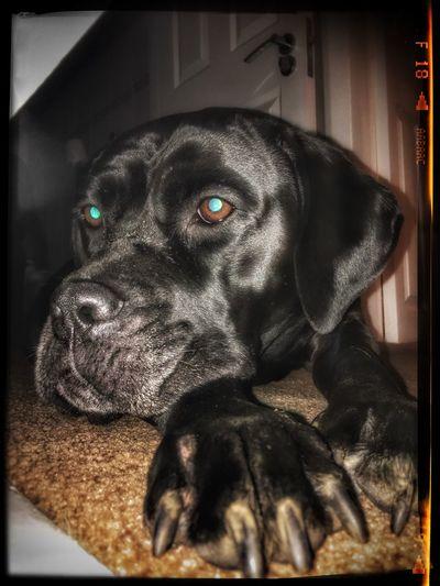 Cane Corso Canecorso  Canecorsoitaliano Dog ItalianMastiff Color Portrait BlackDog