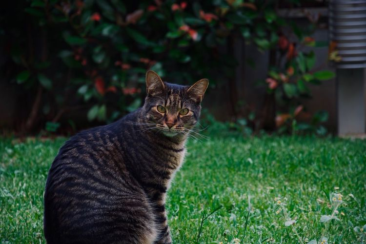 Cat Feline Domestic Pets Domestic Cat Domestic Animals Mammal Animal Themes One Animal Animal Grass Vertebrate Plant Whisker Portrait Focus On Foreground Nature No People Day Looking At Camera Tabby
