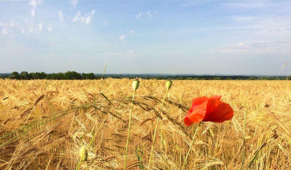 Nature Wheat