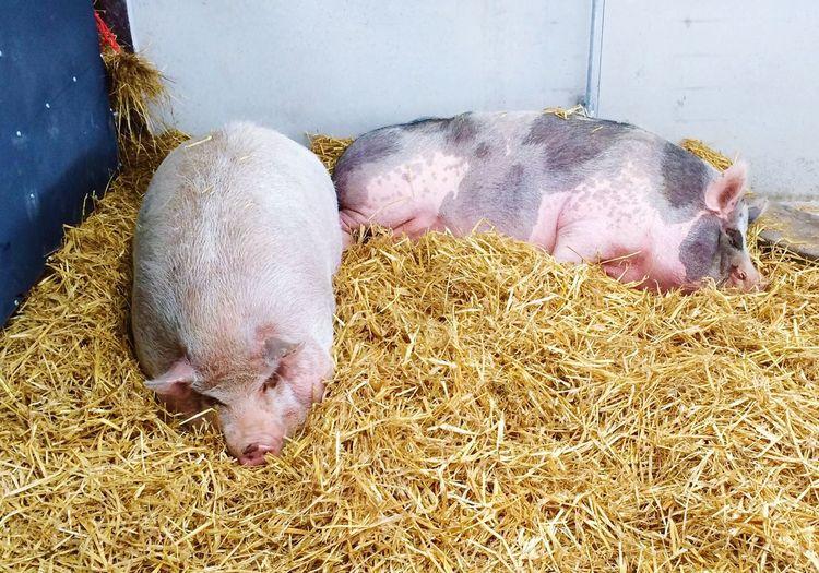 The sty Pig