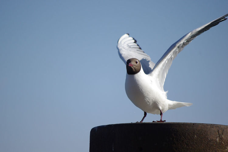 Animal Themes Animal Wildlife Animals In The Wild Beauty In Nature Bird Black-headed Gull Clear Sky Close-up Copy Space Day Low Angle View Nature No People One Animal Outdoors Seagull Spread Wings Water