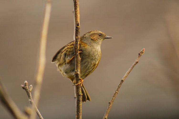 Dunnock Animal