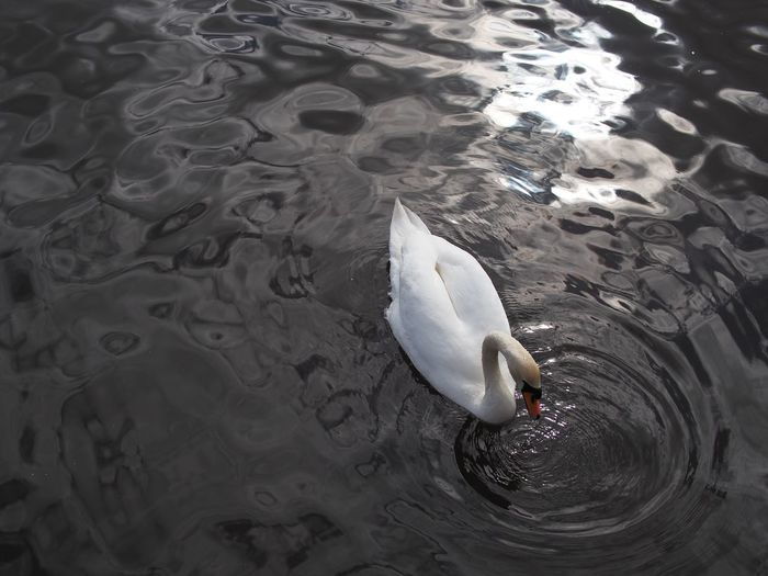 High angle view of swan in rippled water