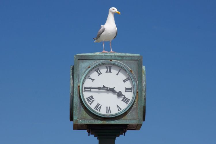 Seagull perching on clock against clear blue sky