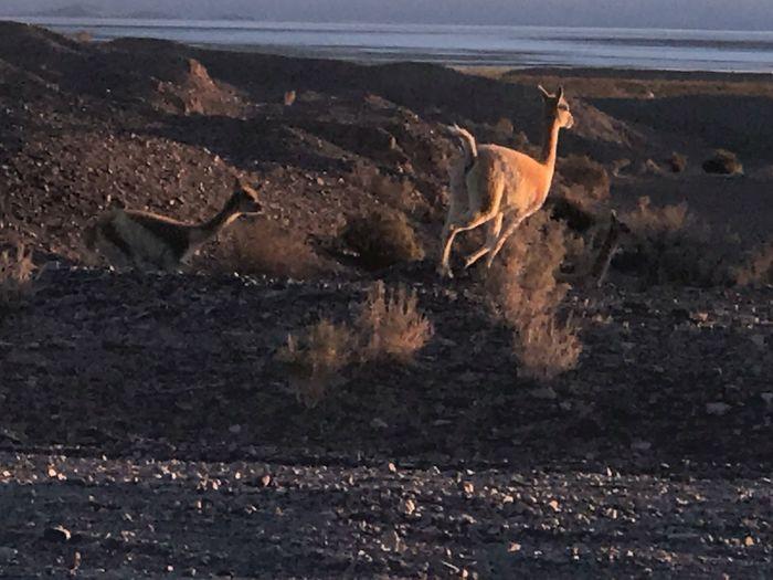 Run guanaco run