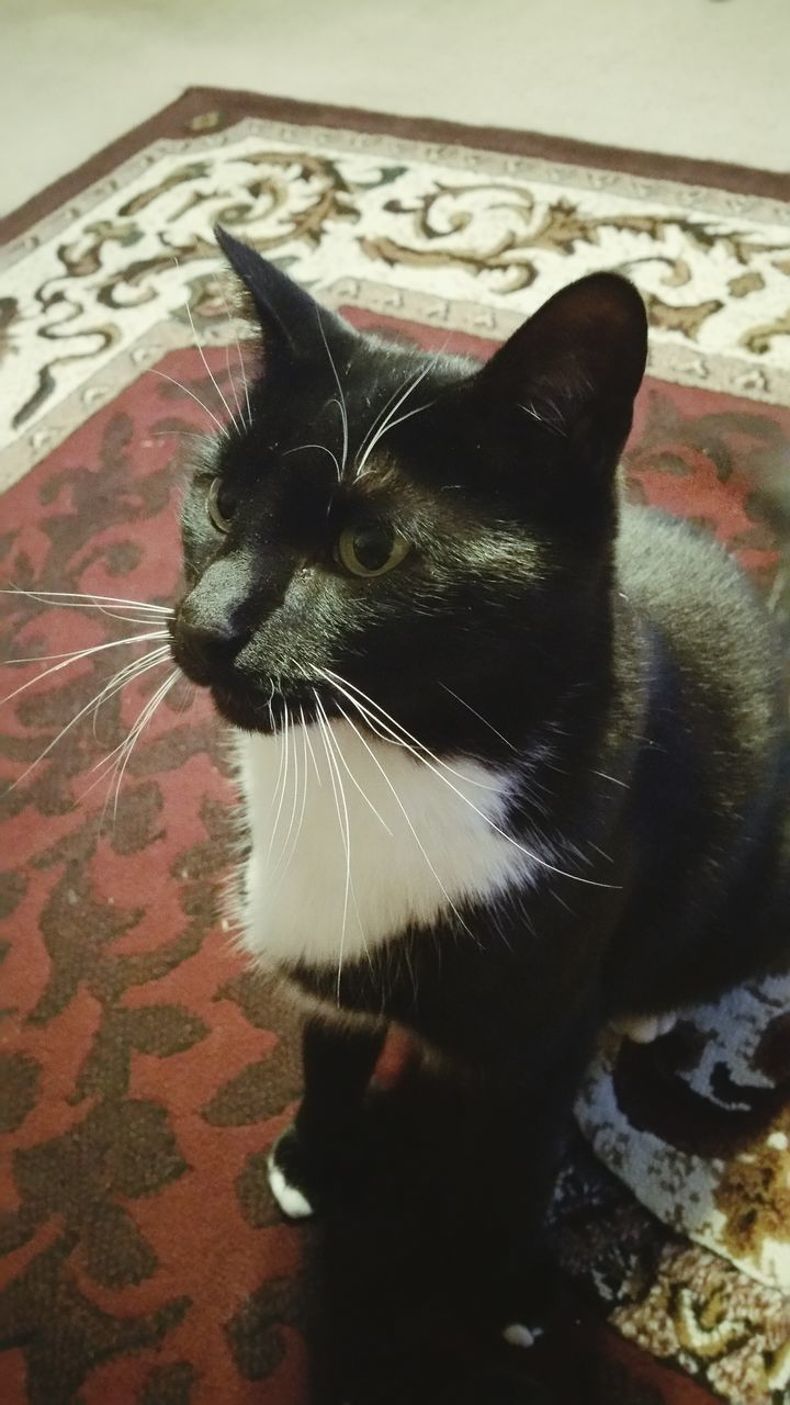 domestic cat, one animal, animal themes, pets, feline, domestic animals, cat, mammal, whisker, indoors, no people, close-up, portrait, nature, day