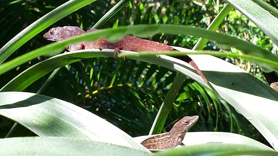 Lizards Lizard Love Lizard Watching Wildlife & Nature Animal Themes Backyard Critters