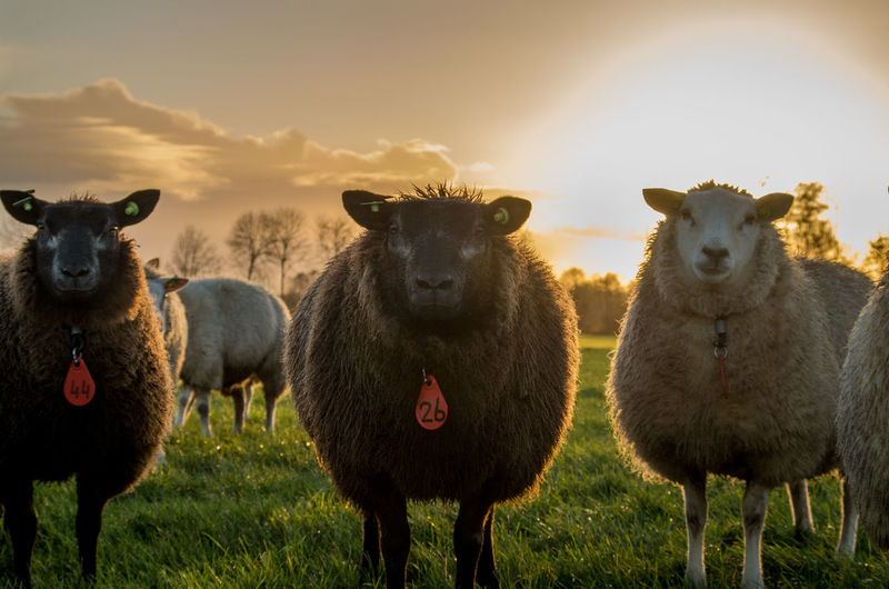 3 Scherpe Looking To Me Animal Themes Backlight Closeup Day Extraordinay Field Funny Grass Livestock Looking At Camera Nature No People Orange Sky Outdoors Sheep Sheeps Sky Sunset Togetherness