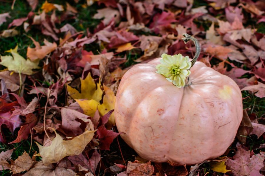 Pink pumpkin flat lay with autumn leaves Autumn colors Holiday Red Leaf Flat Lay Halloween Thanksgiving Pumpkin Leaf Plant Part Food Autumn Food And Drink Vegetable Nature Healthy Eating Plant Freshness No People Wellbeing Day Outdoors Close-up Land Red Field Change Organic
