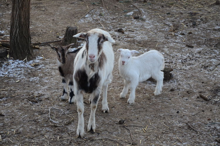 Animal Themes Domestic Animals Farm Farm Life Goat Goats Kid Goat Mammal Nature Nature Outdoors Ranch Ranch Life Three Goats Wild Wild Life Young Animal