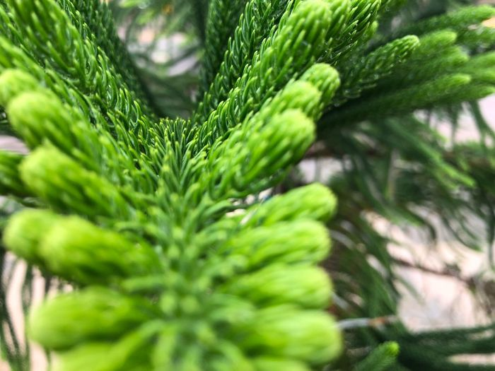 Tiered Pine Tiered Green Green Color Growth Plant Plant Part Close-up Leaf Selective Focus Nature Beauty In Nature Tree Full Frame Freshness