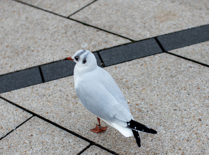 High angle view of seagull perching on footpath