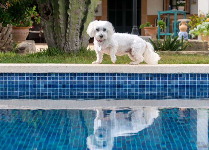 Portrait of dog standing in swimming pool