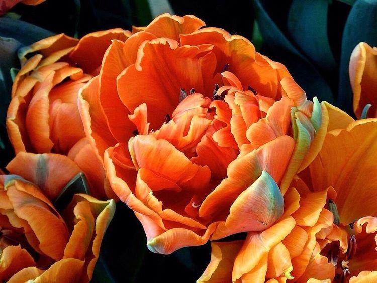 Flower Flowers Tulips🌷 Tulipan Tulpen Keukenhof Keukenhof Garden Kaukenhof Holand Holandia