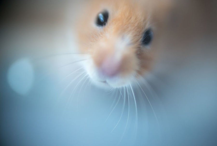 Animal Themes Close-up Day Domestic Animals Hamster Indoors  Macro Photography Mammal No People One Animal Pets Syrian Hamster  Whisker