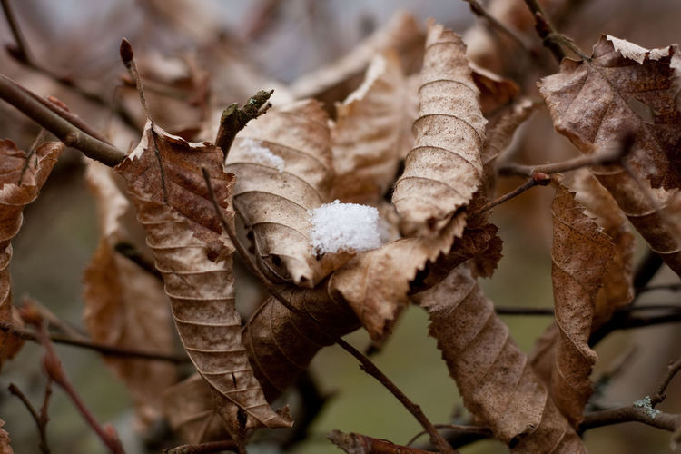 snow on leaves Plant Close-up Nature No People Day Beauty In Nature Twig Focus On Foreground Growth Outdoors Leaves Snow On Leaves Snow Winter Wintertime Cold Temperature Dry Leaves Dry Bush Nature Focus Backgrounds